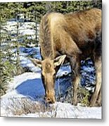 Moose Connection Metal Print