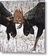 Moose Fighting, Gaspesie National Park Metal Print by Nicolas Bradette