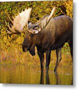Moose In Glacial Kettle Pond  Metal Print