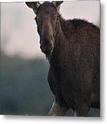 Moose Portrait Metal Print