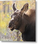 Moose Who Lost His Mother Metal Print
