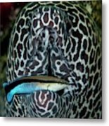 Moray Eel With Cleaner Wrasse Metal Print