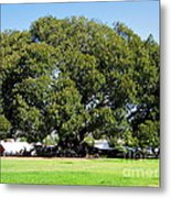 Moreton Fig Tree In Santa Barbara Metal Print