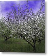Morning Apple Blooms Metal Print