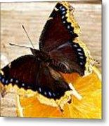 Morning Cloak Butterfly Metal Print