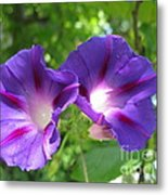 Morning Glory Couple Or 2 Purple Ipomeas Metal Print