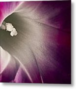 Morning Glory Pink Metal Print by Roger Snyder