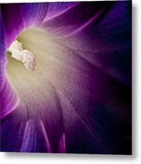 Morning Glory Purple Metal Print by Roger Snyder