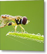 Morning Hoverfly Metal Print