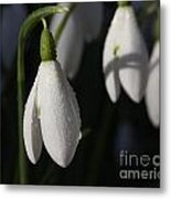 Morning Snowdrops Metal Print