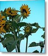Morning Sunflowers Metal Print