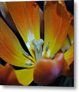 Morning Tulip Metal Print