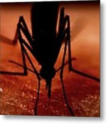 Mosquito Biting A Human Metal Print by Science Photo Library