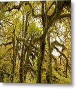 Moss-covered Maple Grove Metal Print
