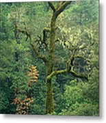 Moss Covered Tree Central California Metal Print