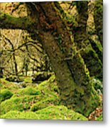 Moss Covered Trees In A Forest Metal Print