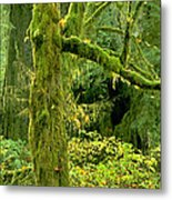 Moss Draped Big Leaf Maple California Metal Print