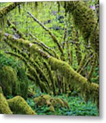 Moss Grows On Vine Maple Trees  Acer Metal Print