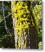 Moss On Tree Along Sentinel Dome Trail In Yosemite Np-ca Metal Print