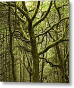 Mossy Welsh Forest  Metal Print