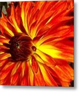 Mostly Orange Dahlia Flower Metal Print