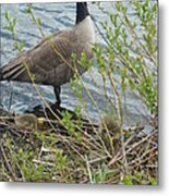 Mother And Child Canadian Geese Metal Print