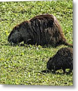 Mother And Child - Coypu - Nutria Metal Print