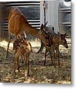 Mother And Two Fawn II Metal Print