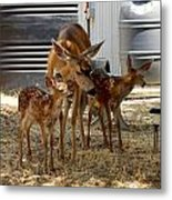 Mother And Two Fawn IIi Metal Print