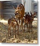 Mother And Two Fawn  Metal Print
