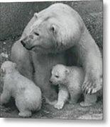 Mother Bear Shows Off Her Twin Babies. Tiyak And Tineak - Metal Print