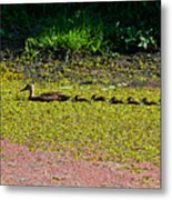 Mother Duck And Baby Ducks Metal Print
