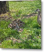 Mother Duck With Nest Metal Print