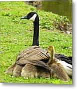 Mother Goose Metal Print by Bruce Brandli