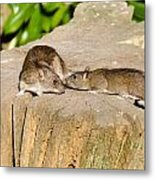 Mother Rat With Youngster Metal Print