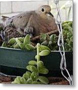Mother With Baby Mourning Dove Metal Print