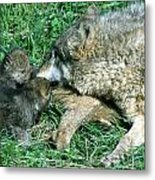 Mother Wolf Nuzzles Cubs Metal Print