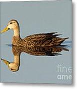 Mottled Duck Metal Print
