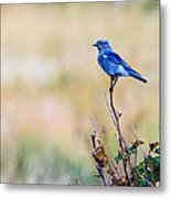 Mountain Bluebird  Metal Print