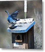 Mountain Bluebirds Mating Metal Print