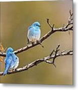 Mountain Bluebirds Metal Print