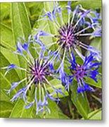 Mountain Bluet Flowers Metal Print
