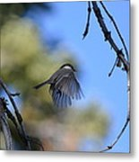 Mountain Chickadee Metal Print