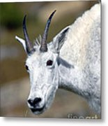 Mountain Goat Feeding Metal Print