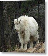 Mountain Goat Kid Metal Print