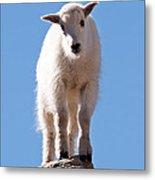 Mountain Goat Kid On Mount Evans Metal Print