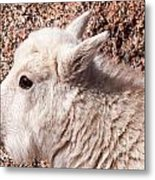 Mountain Goat Kid Portrait On Mount Evans Metal Print