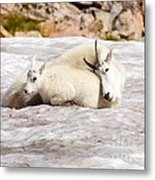 Mountain Goat Mother And Baby Metal Print