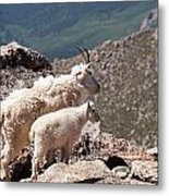 Mountain Goat Nanny And Kid Enloying The View On Mount Evans Metal Print