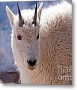Mountain Goat Portrait On Mount Evans Metal Print